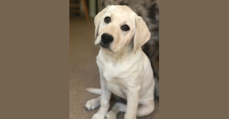 Photo of Clover, a Labrador Retriever