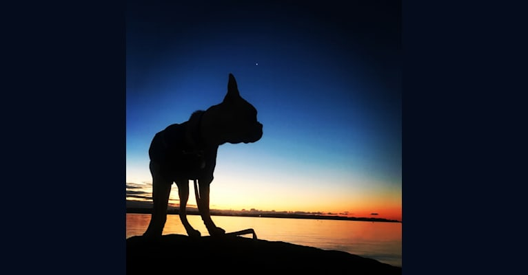 Photo of Otto, a Boston Terrier  in Gloucester, Massachusetts, USA