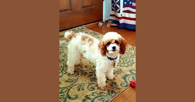 Photo of Zach, a Poodle (Small)