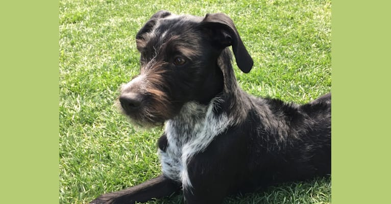 Photo of Pepper, a Wirehaired Pointing Griffon and Boxer mix in Las Vegas, Nevada, USA