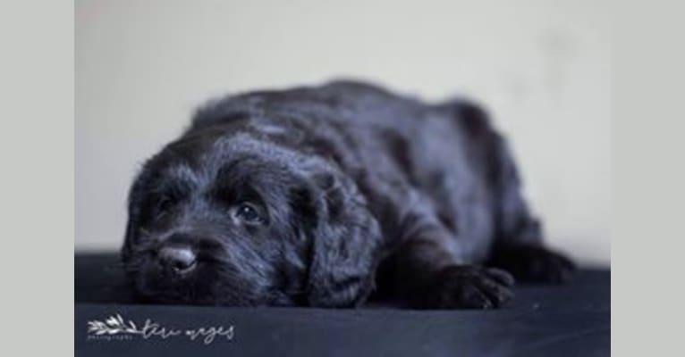 Photo of Bryson, a Labrador Retriever, Poodle (Standard), and Mixed mix in Corpus Christi, Texas, USA