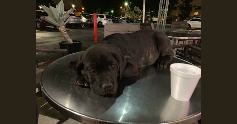Photo of Penny Lane, a Cane Corso and Neapolitan Mastiff mix in El Monte, CA, USA