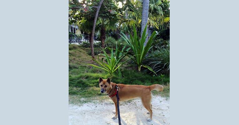 Photo of Kisa, a New Guinea Singing Dog