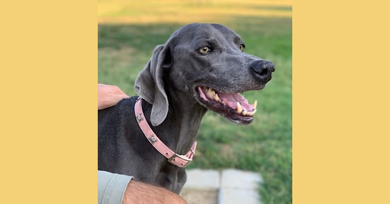 Photo of Bailey, a Weimaraner  in Los Angeles, California, USA