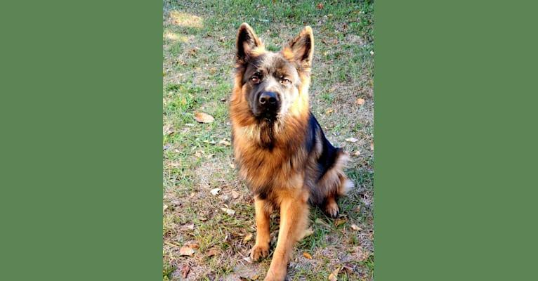 Photo of Marston, a German Shepherd Dog