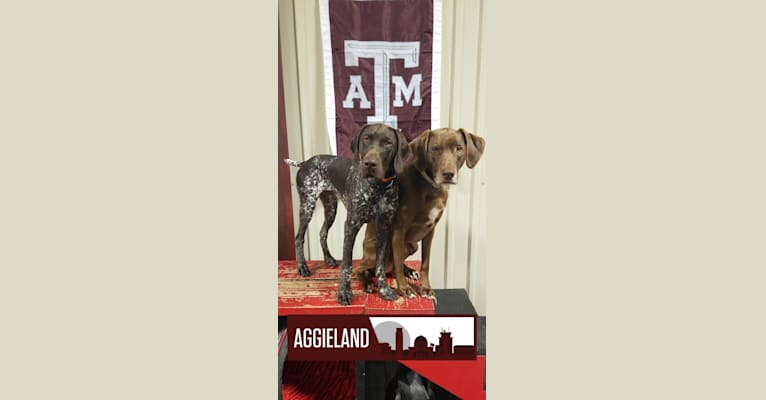 Photo of Milo, a Labrador Retriever, Rhodesian Ridgeback, American Pit Bull Terrier, American English Coonhound, and Mixed mix in College Station, Texas, USA