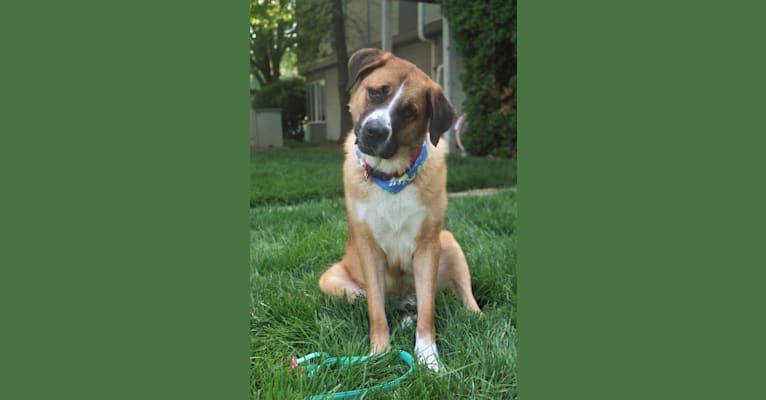 Photo of Apollo, a German Shepherd Dog and Saint Bernard mix in Indianapolis, Indiana, USA