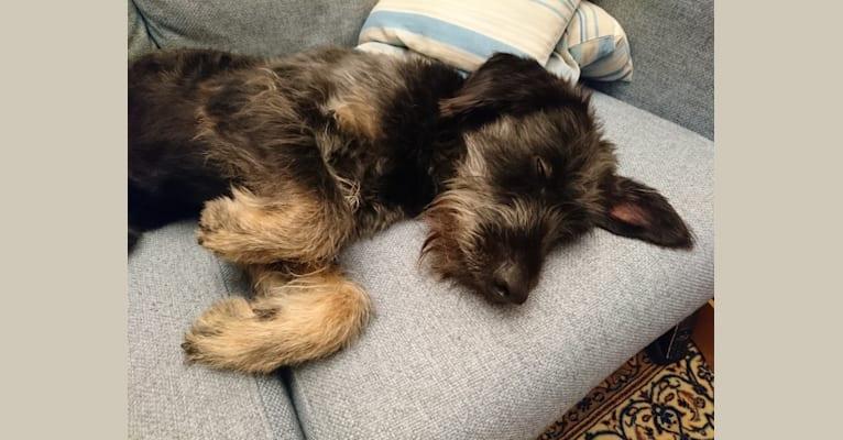 Photo of Lucio Claudio Nerone, a German Shepherd Dog, Neapolitan Mastiff, American Pit Bull Terrier, Cirneco Dell'Etna, English Setter, and Mixed mix in Caltagirone, Sicilia, Italia
