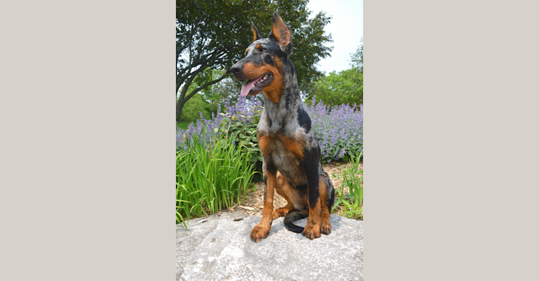Photo of Orabelle, a Beauceron