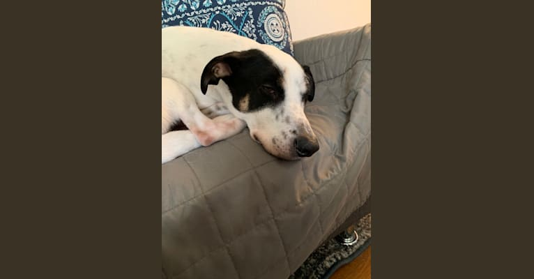 Photo of Dexter, an American Village Dog and American Staffordshire Terrier mix