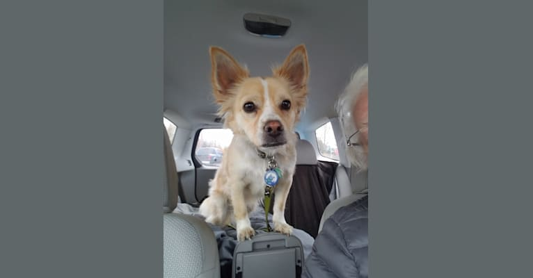 Photo of Nick, a Chihuahua, Poodle (Small), and Pomeranian mix in Anchorage, Alaska, USA