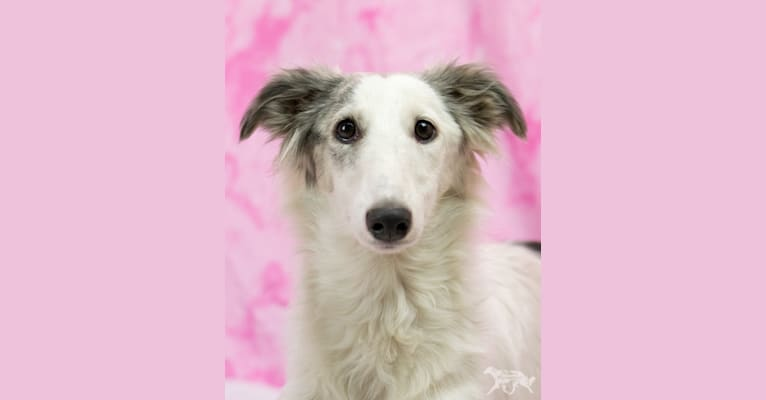 Photo of Mouse, a Silken Windhound