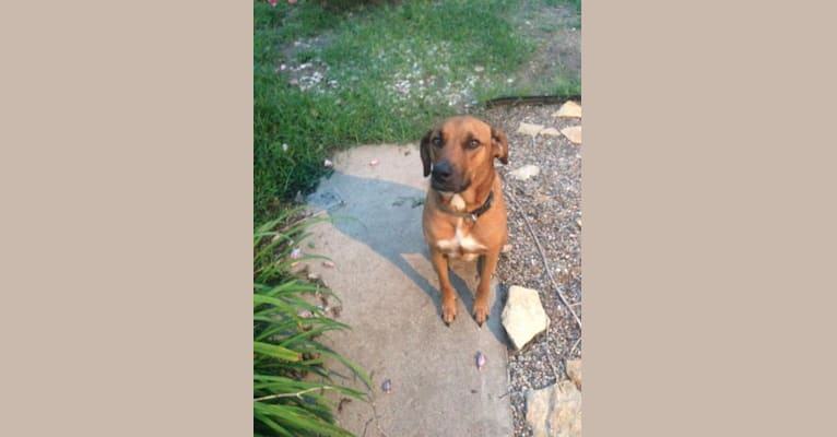 Photo of Caffrey, a Boxer, American Pit Bull Terrier, Labrador Retriever, Siberian Husky, Doberman Pinscher, and Mixed mix in Fort Hood, Texas, USA