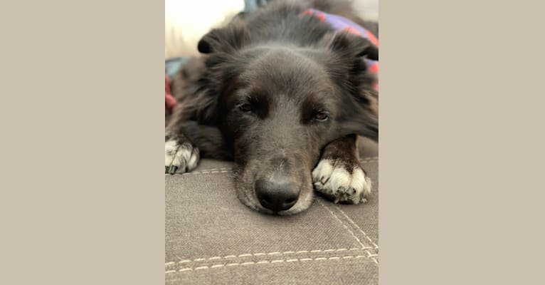 Photo of Blue, a Border Collie, Australian Shepherd, and Chow Chow mix in Ocean City, New Jersey, USA