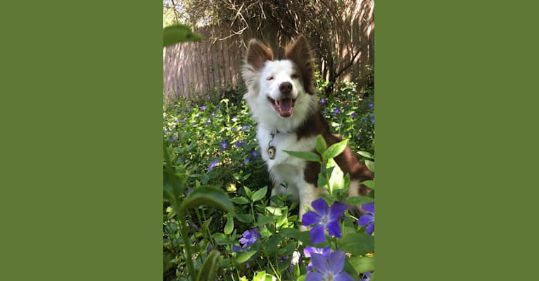 Photo of Denali (Denny), a Border Collie, Australian Cattle Dog, German Shepherd Dog, and Rat Terrier mix in California, USA