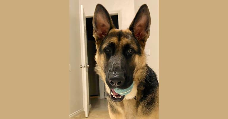 Photo of Loki, a German Shepherd Dog  in Hemet, California, USA