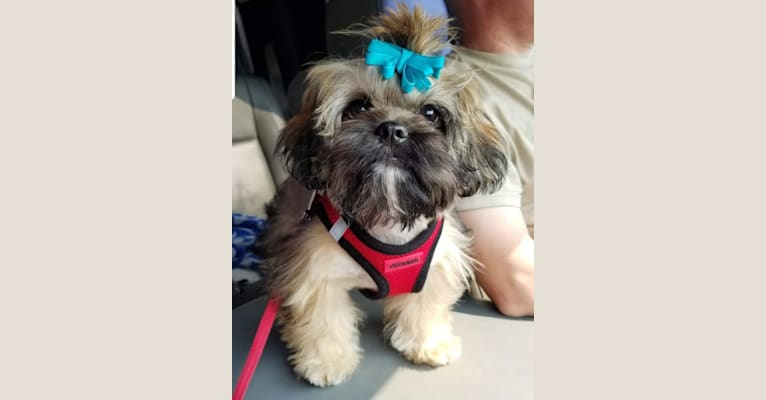 Photo of Nacho, a Shih Tzu  in Millwood, KY, USA