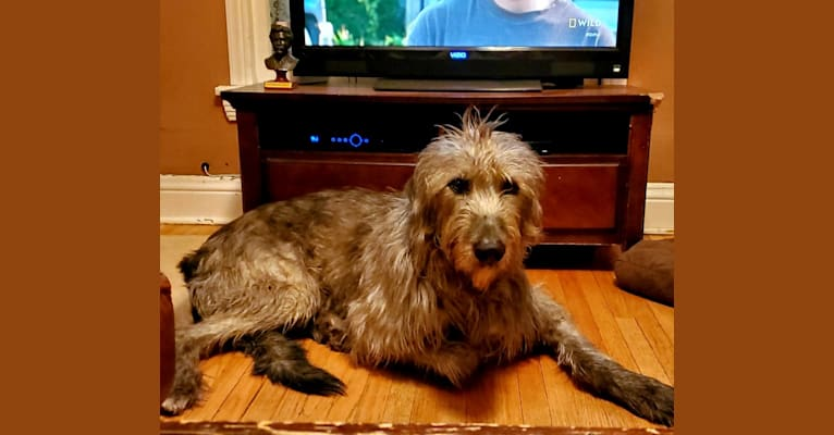 Photo of Gulliver, an Irish Wolfhound  in Kingston, OH, USA