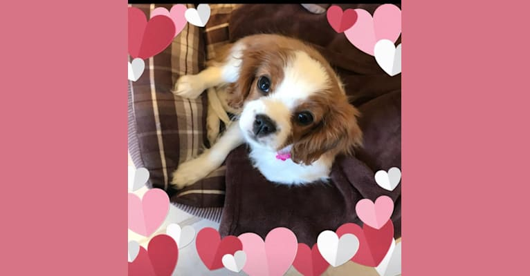 Photo of Lily, a Cavalier King Charles Spaniel