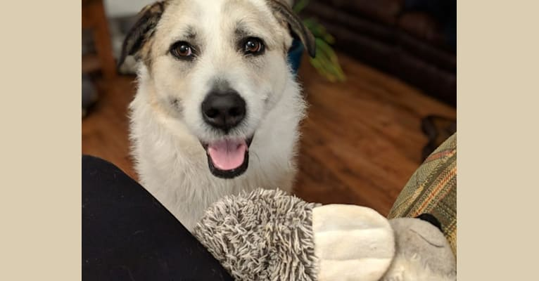 Photo of Echo, a Great Pyrenees and Akita mix in Cleburne, Texas, USA