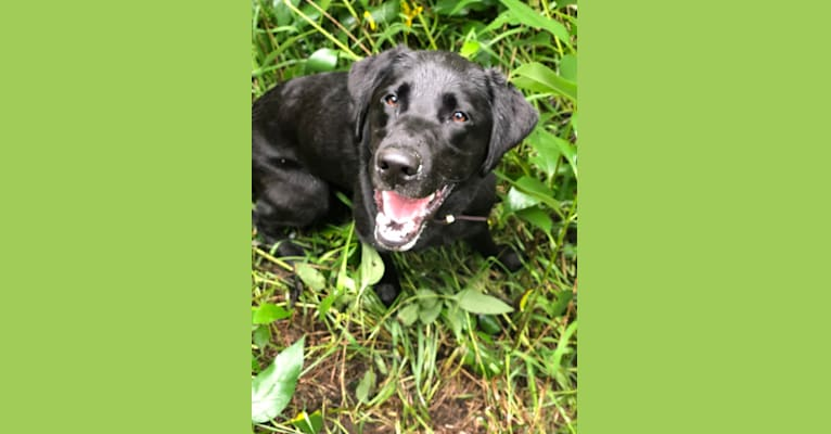 Photo of Rebel, a Labrador Retriever  in Brentwood, NH, USA