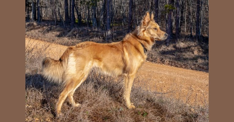 Photo of Josie, an English Shepherd