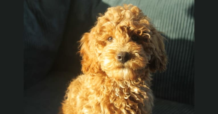 Photo of Keetje, a Poodle (Small) and Poodle (Standard) mix in Zuidlaren, Drenthe, Nederland