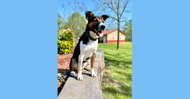 Photo of Finnegan, an Australian Cattle Dog, Australian Shepherd, Beagle, and Great Pyrenees mix in Buffalo, Missouri, USA