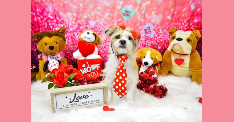 Photo of Bradley, a Shih Tzu, Chihuahua, and Mixed mix in Houston, Texas, USA