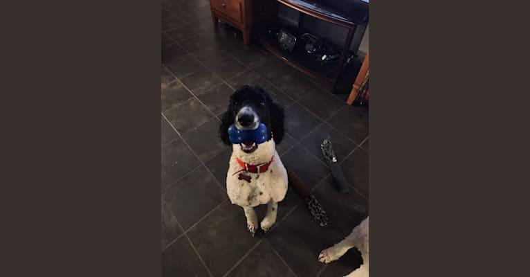 Photo of Benjamin Benji Bentley Benson, a Poodle (Standard)  in Glendale, AZ, USA