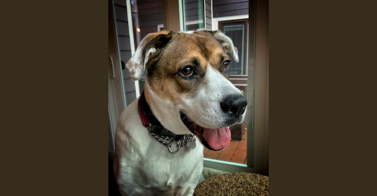 Photo of Maggie, a Boxer, Great Pyrenees, and German Shepherd Dog mix in Indianapolis, Indiana, USA