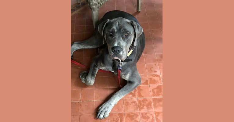 Photo of Remington, an American Bulldog and Neapolitan Mastiff mix