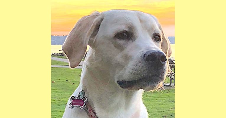 Photo of Annika Lena, a Labrador Retriever  in Mt Airy, MD, USA