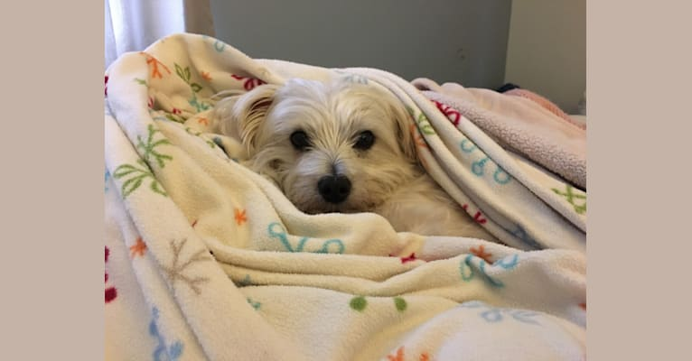 Photo of Porter, a Maltese and Cairn Terrier mix