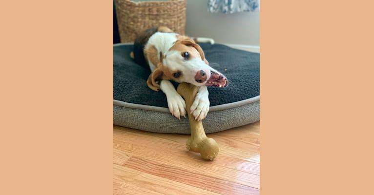 Photo of Paco, an American Foxhound  in Fairfax, Virginia, USA