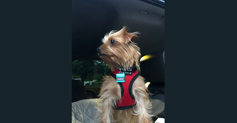 Photo of Sadie Bones, a Chorkie (5.8% unresolved) in Florida, USA