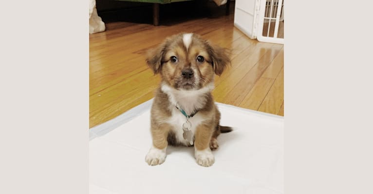 Photo of Potato Chip, a Labrador Retriever, Dachshund, Shih Tzu, Yorkshire Terrier, Poodle (Small), Basset Hound, and Mixed mix in Kentucky, USA