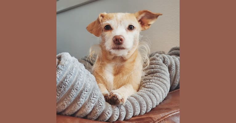 Photo of Kenzie, a Chihuahua, Rat Terrier, Dachshund, and Miniature Schnauzer mix in Oak Point, Texas, USA