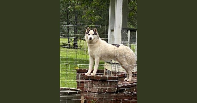 Photo of Tabasco, a Siberian Husky  in Virginia, USA