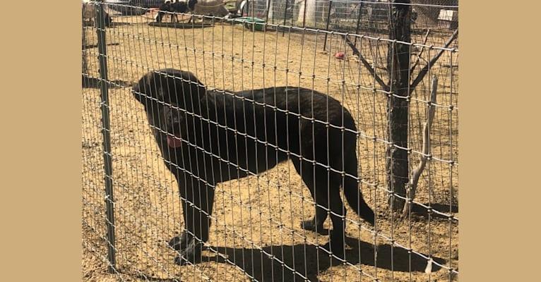 Photo of Hoof and Fangs Faith, a Spanish Mastiff  in Nevada, USA