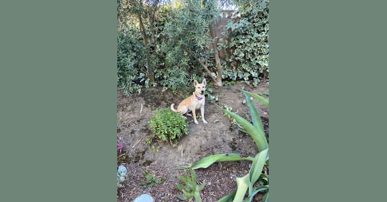 Photo of Harley, a Carolina Dog  in Vallejo, CA, USA