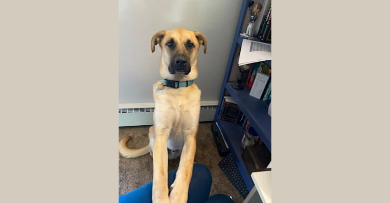 Photo of Link, a German Shepherd Dog, Boxer, American Foxhound, Great Pyrenees, and Australian Cattle Dog mix in Tennessee, USA