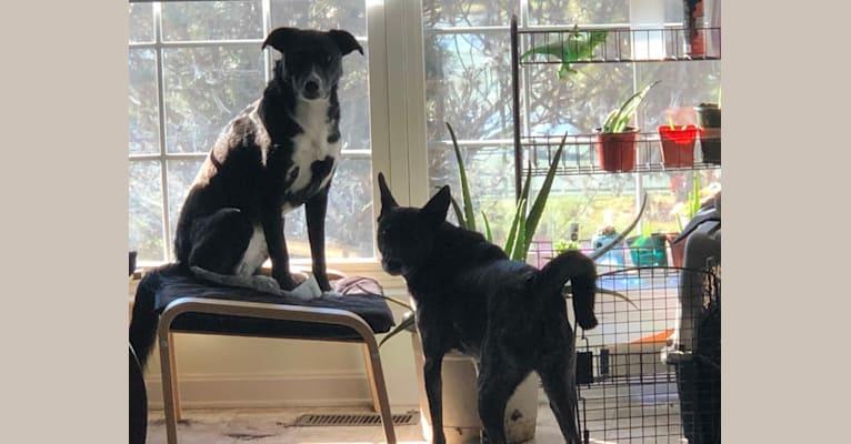 Photo of Pharah, a Labrador Retriever, German Shepherd Dog, Siberian Husky, Chinese Shar-Pei, and Alaskan Malamute mix