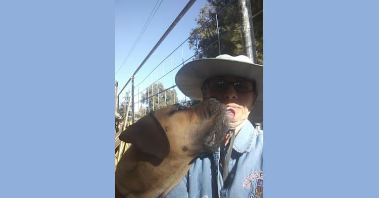 Photo of Clover K Asha, a Boerboel  in California, USA