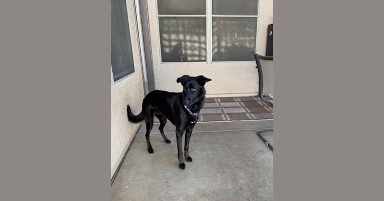 Photo of Kit, a German Shepherd Dog, Chow Chow, and Australian Cattle Dog mix in Atlanta, Georgia, USA