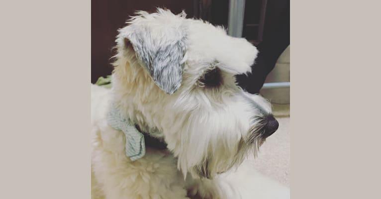 Photo of Boone's Winsome Beau Dandy, a Soft Coated Wheaten Terrier  in Cincinnati, Ohio, USA