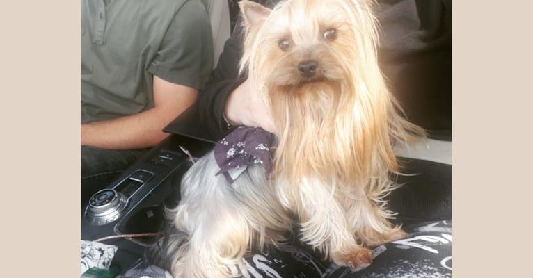 Photo of Niska, a Yorkshire Terrier  in St Petersburg, Russia