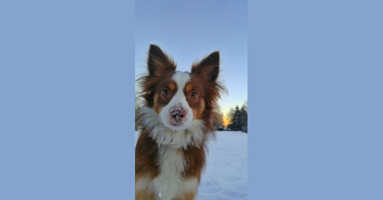 Photo of Koda, an Australian Shepherd Group  in Oregon, USA