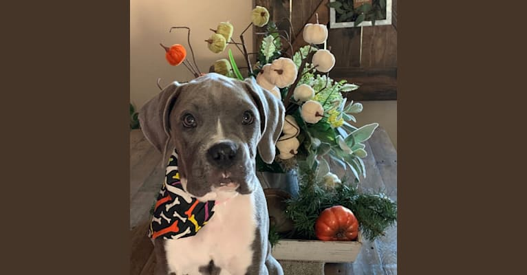 Photo of Willow Grace, a Boxer  in Celina, Ohio, USA