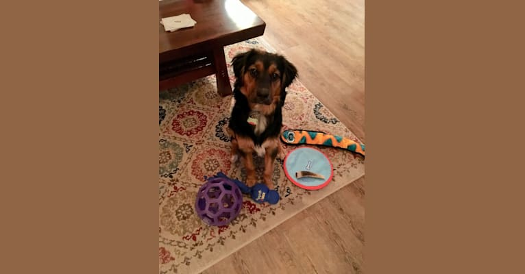 Photo of Maverick, a Beagle, German Shepherd Dog, Russell-type Terrier, and Mixed mix in Kentucky, USA